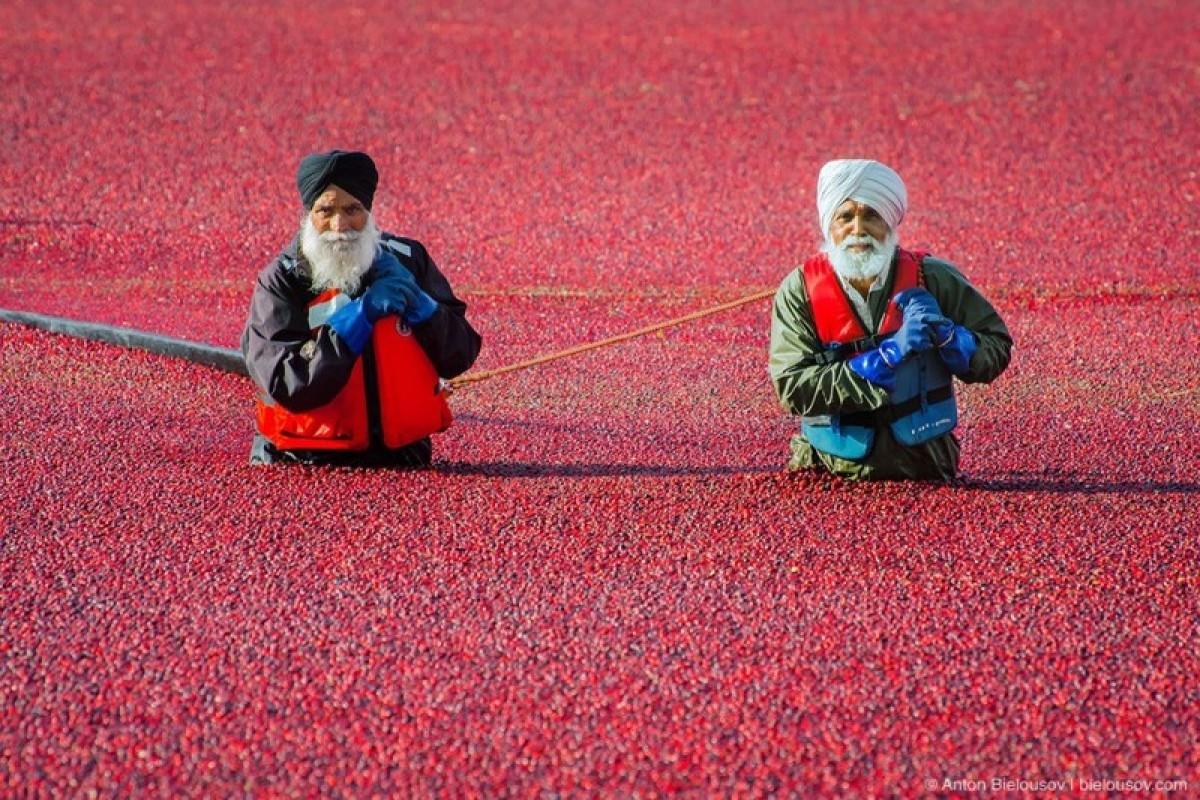 Recoltarea afinelor roşii în Richmond