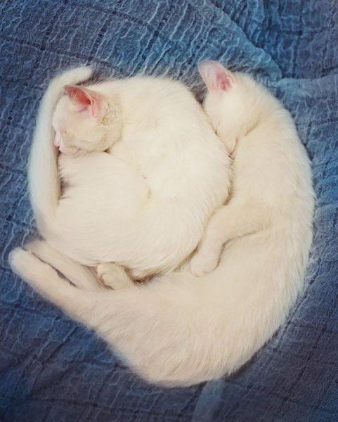 Cat-twin-sisters-iriss-abyss-heterochromatic-eyes-20